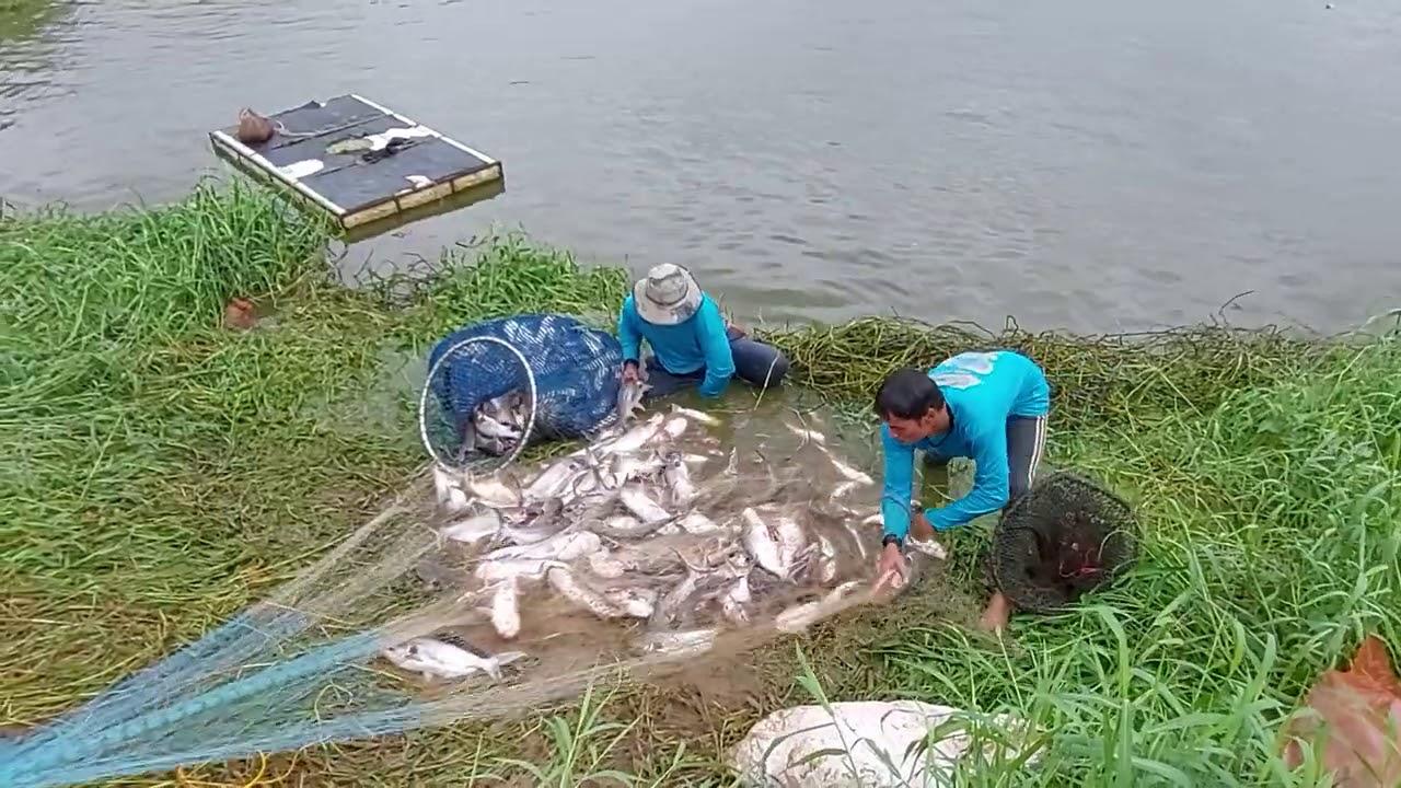 หว่านทีเดียวได้ปลา 100โล สมราคาหนอง 660,000บาท ทีมงานเสี่ยตันจัดให้ Cast Net Fishing Big fish