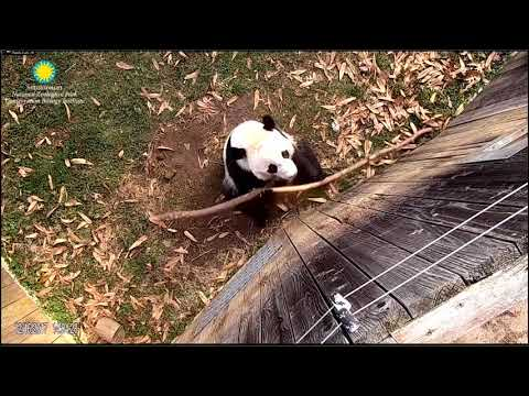Bei Bei vocalized, used a stick to say 'Hello!'  12-16-2017