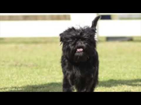 Affenpinscher - Dog Breed Information