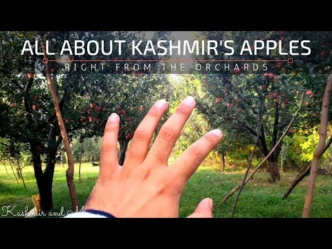 ALL ABOUT KASHMIRI APPLES! - RIGHT FROM THE ORCHARDS | Rasul Mir - Choun Paknuy