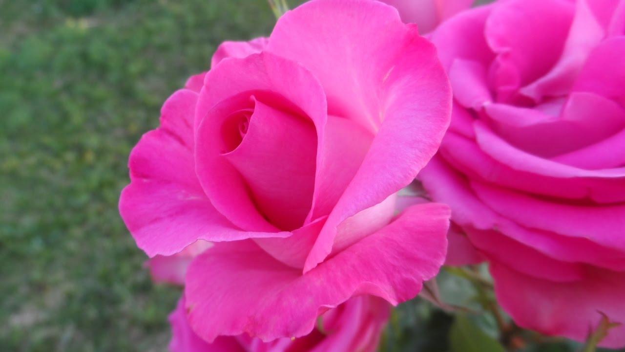 садовая лаванда фото
