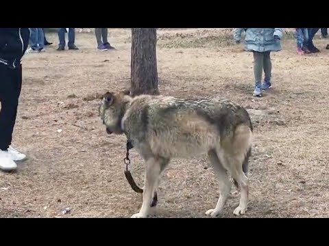 Карен Даллакян против владельца волка