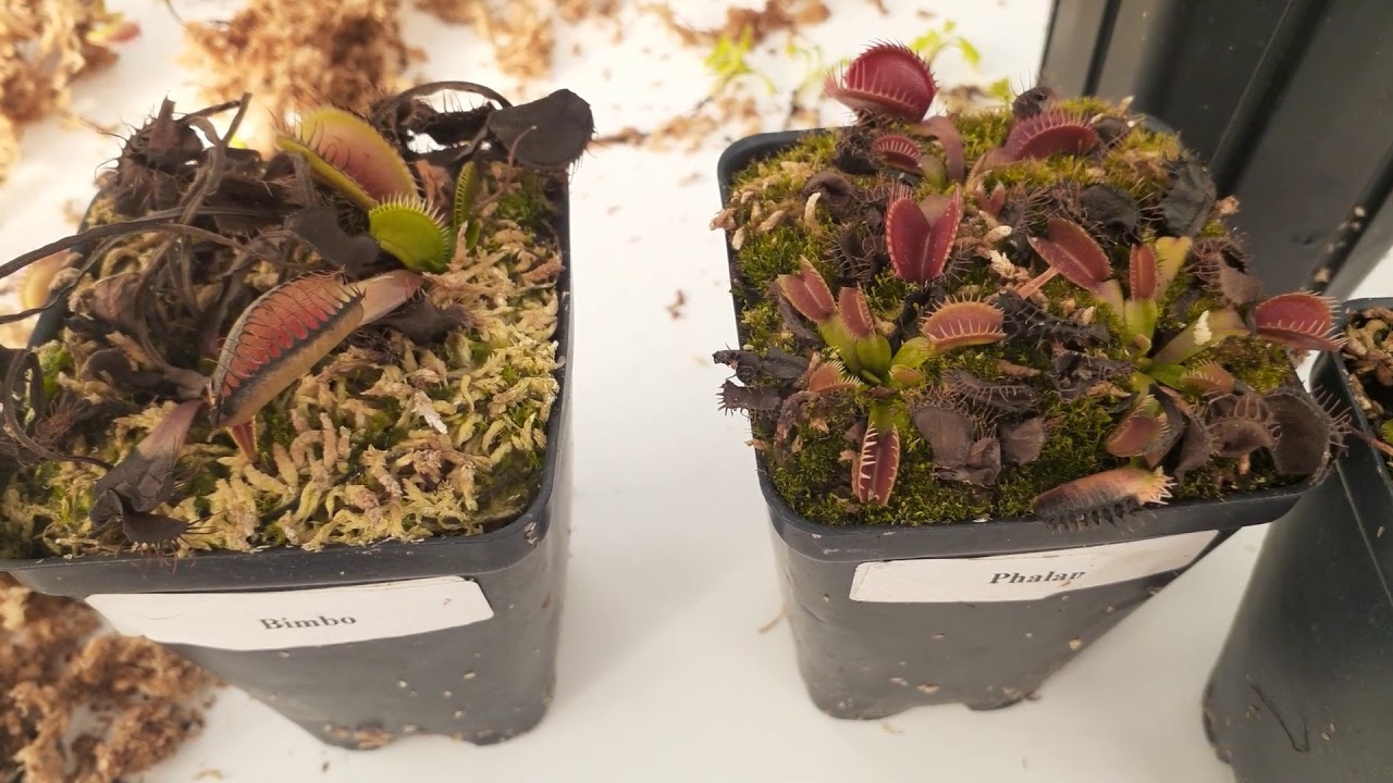 Download How to Know When To Repot Venus flytraps and What to Expect