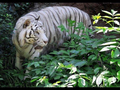 Al bioparco di roma la nuova casa della tigre bianca dopo anni sul