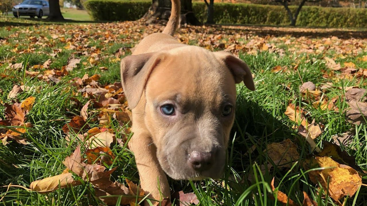 6 1/2 Weeks American Bully Puppies