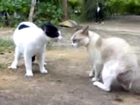 Kucing bergaduh