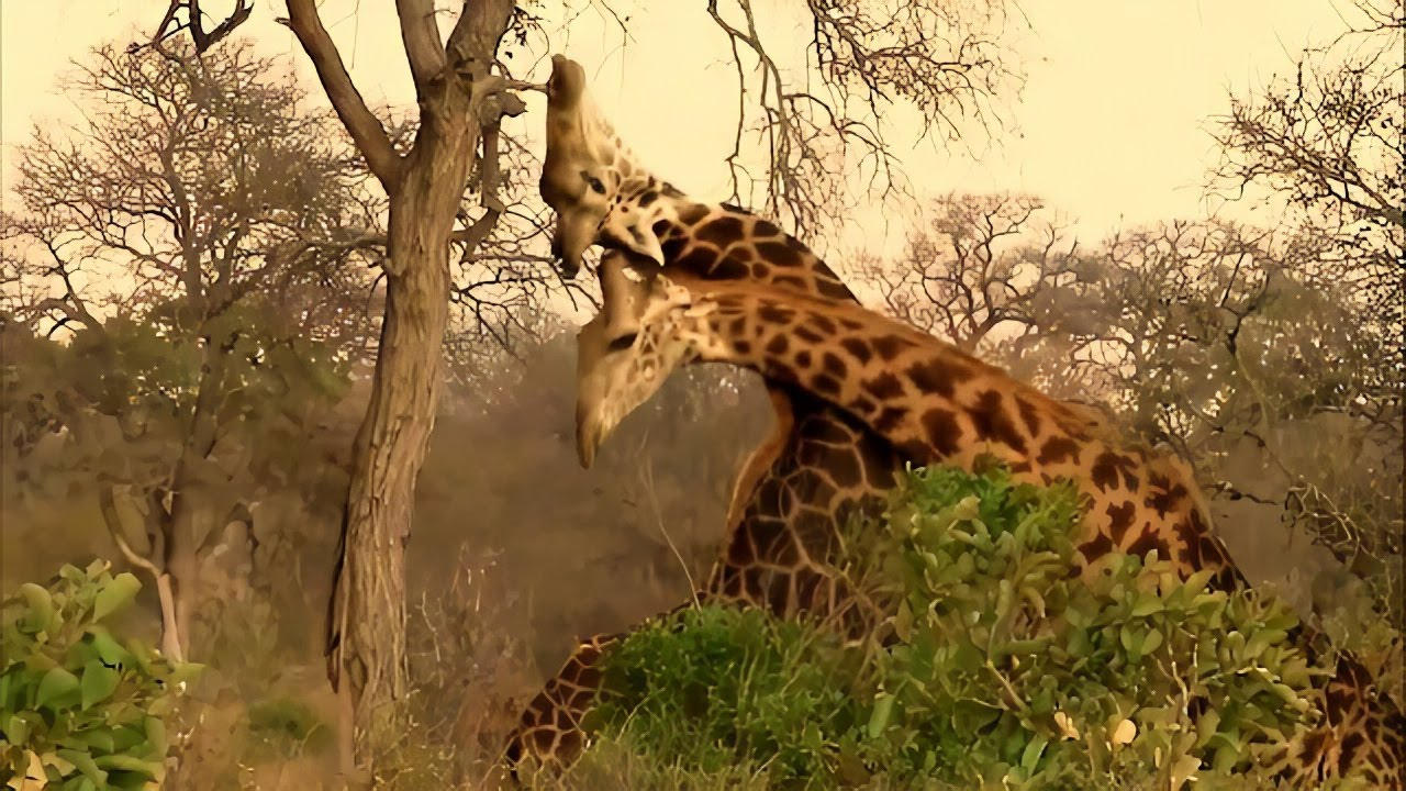 Giraffe bull has intense battle with fellow giraffe