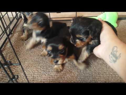 Minnie and babies: 4 week old yorkie puppies