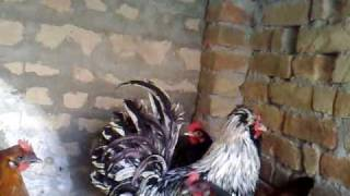 fancy hens in pakistan