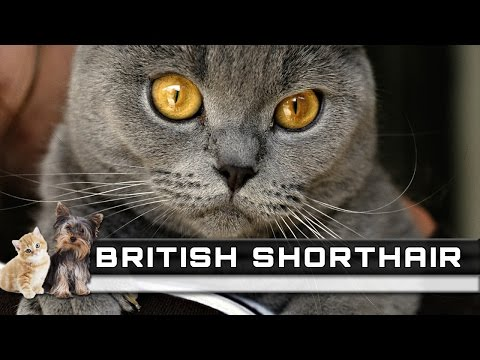 🐈 BRITISH SHORTHAIR Cat Breed - Overview, Facts, Traits and Price
