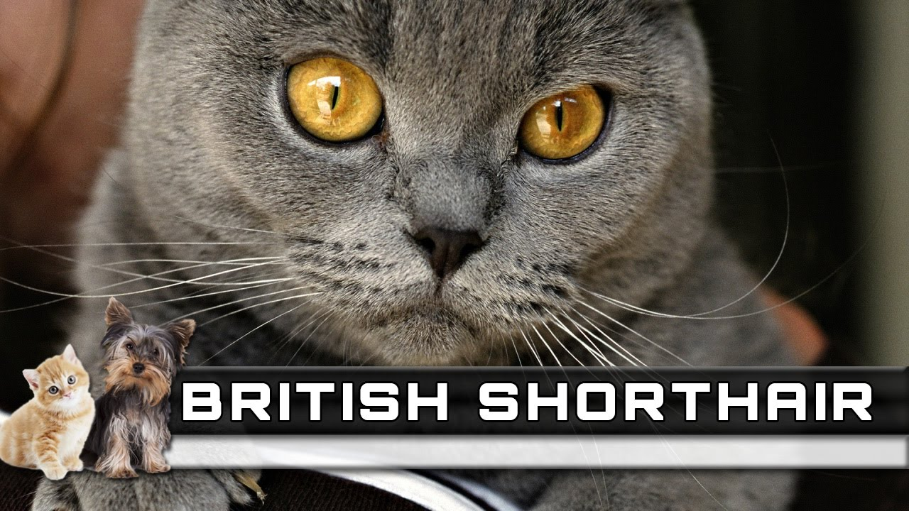 🐈 BRITISH SHORTHAIR Cat Breed Overview Facts Traits and Price