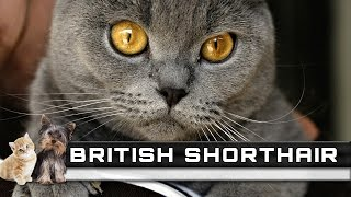 BRITISH SHORTHAIR Cat Breed  Overview, Facts, Traits and Price