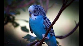 Мой волнистый попугай и уход за ним