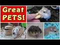10 REASONS HAMSTERS MAKE GREAT PETS FOR ALL AGES!! CHOCOLATECOLORS26 COLLAB!