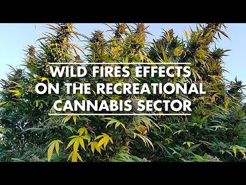 Wild Fires Effects On The Recreational Cannabis Sector – With John Downs
