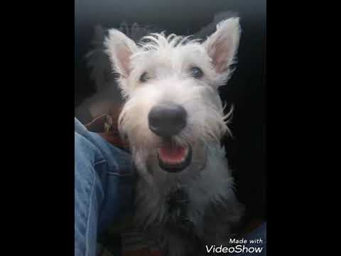 Dogs ridding in cars - Aberdeen Scottish Terrier cute sleepy faces