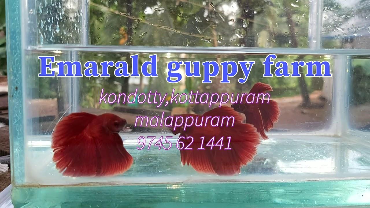 Betta fish for sale in malappuram..fighter fish