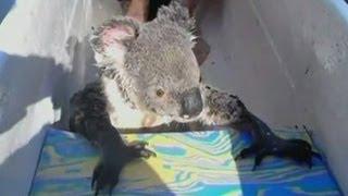 Koala hitches a ride in a canoe in Australia