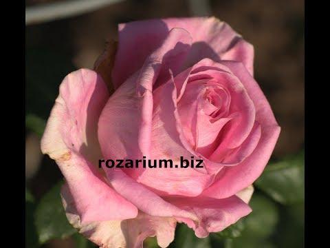 мульчирование розария, капельная лента, роза аква, питомник роз полины козловой, rozarium.biz