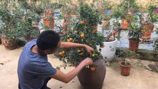 Cách trồng quất chum sau tết. quy trình chăm sóc cho cả năm