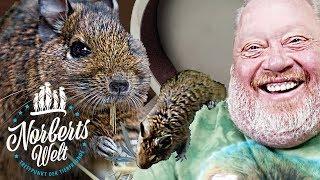 DER LUSTIGSTE DEGU DER WELT! | NORBERT LACHT SICH SCHLAPP  | NORBERTS WELT | Zoo Zajac