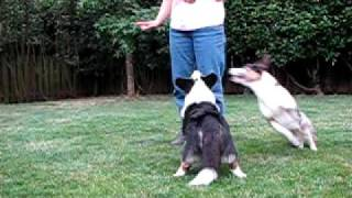Zoey Jumps Over Riley: Two Cardigan Welsh Corgi Dogs