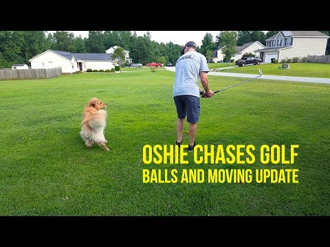 GOLDEN RETRIEVER CHASES GOLF BALLS & MOVE UPDATE | Oshies World
