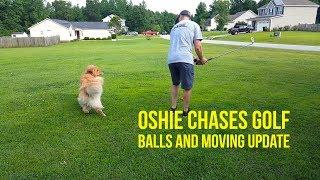 GOLDEN RETRIEVER CHASES GOLF BALLS & MOVE UPDATE   Oshies World thumbnail