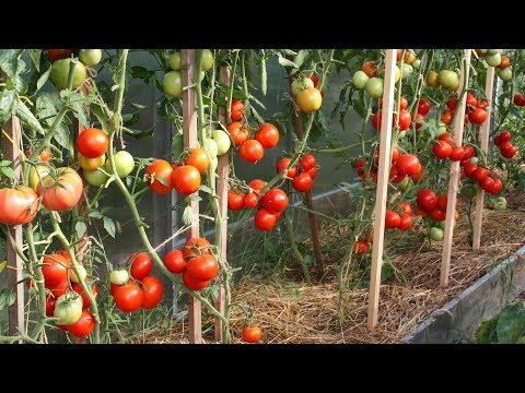 Томаты 2019   эти семена не подведут  Переопыляются ли томаты