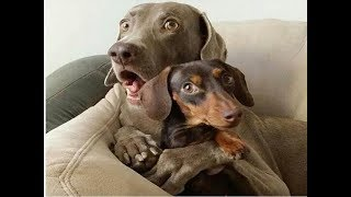 Funny And Cute Dogs and Puppy videos compilation 2018 - FUNNY DOG VIDEOS