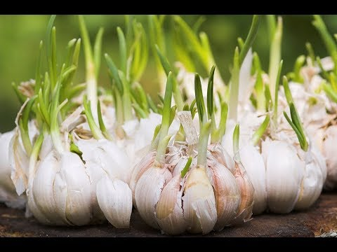 8 Fresh vegetables and Herbs You Can Re grow Many times Inside your House or Gardening