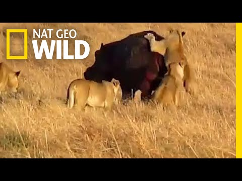 This Hippo Isn't Bothered by Lion Attack | Nat Geo Wild
