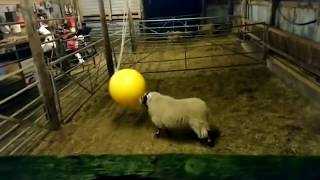 Delighted Sheep Rams His New Toy