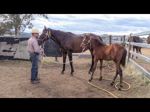 The Principles of Training: Handling Unweaned Thoroughbred Foals Part 2
