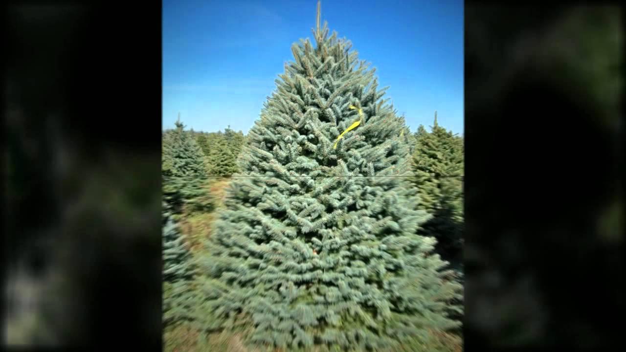 Christmas Trees Indiana PA 15701 | 814-948-4990 | Pineton ...