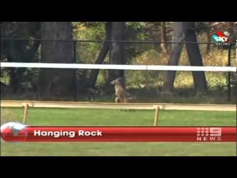KANGAROOS CAUSE AUSTRAIA DAY RACES TO BE ABANDONED At HANGING ROCK VIC