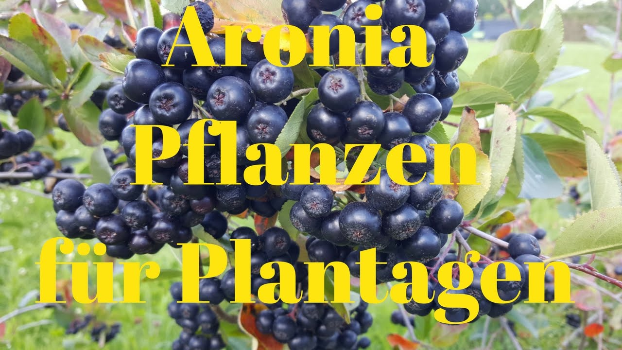 aronia pflanzen f r plantagen ertrgreichste aronia sorte f r aronia plantagen youtube. Black Bedroom Furniture Sets. Home Design Ideas