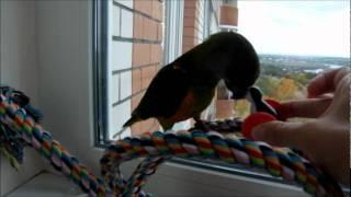 Сенегальский попугай Гоша играет.
