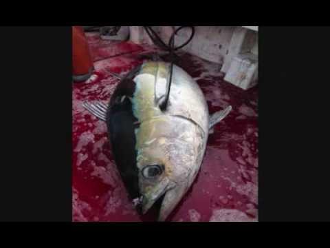 GREEN STICK FISHING FOR TUNA IN THE ATLANTIC OCEAN