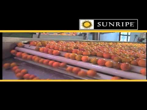 SUNRIPE Produce - Tomato Growers