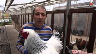 видео Порода кур Араукана - фото и описание породы, выращивание и уход