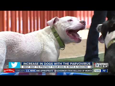 Increase In Dogs With Parvo