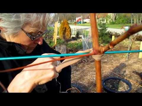 Grape Vine Structure - Wisconsin Garden Video Blog 344
