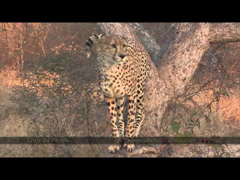 Cheetah's marks territory - South Africa Travel Channel 24