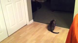 Cat fetches his toy