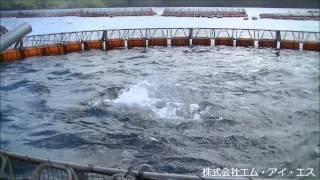 養殖クロマグロ給餌の様子(125/150A エジェクター式ユニット型エアー投餌器)