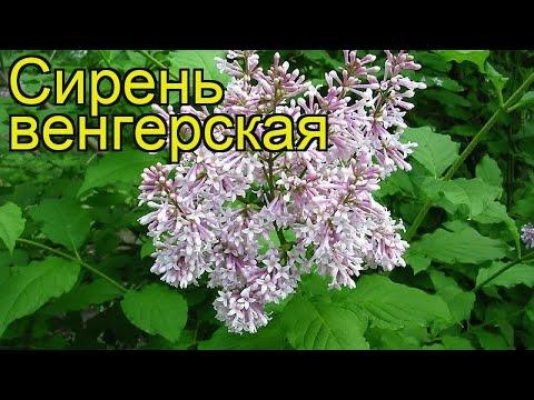 Сирень венгерская. Краткий обзор, описание характеристик syringa josikaea