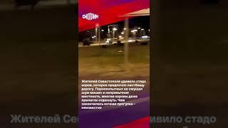 Жителей Севастополя удивило стадо коров #shorts