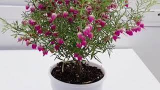 #보로니아#보로니아 키우기#귀여운 봄꽃