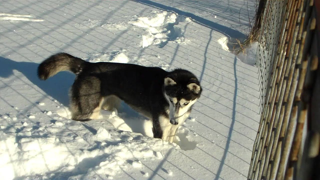 Siberian Husky Playing In Snow Blizzard Husky Puppy Likes Snow Youtube